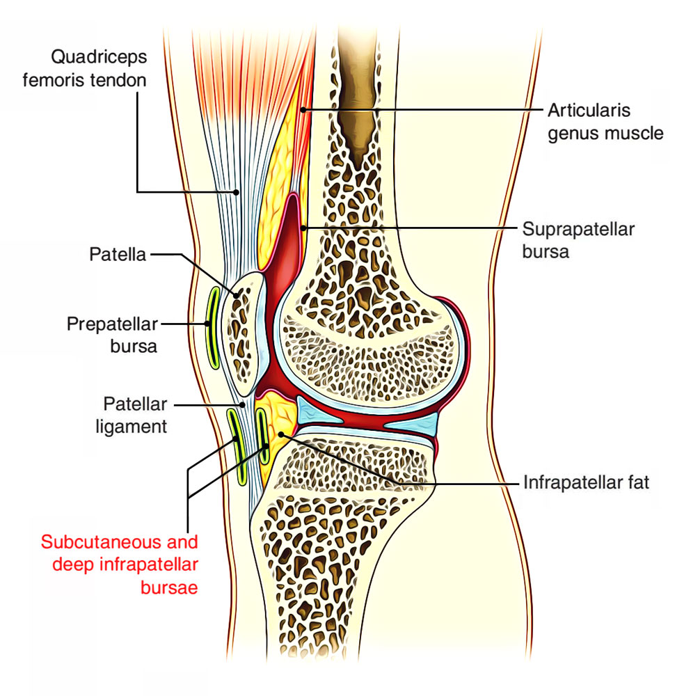 Subcutaneous Infrapatellar Bursa