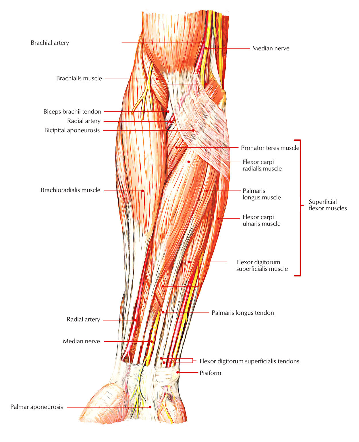 Superficial Anterior Muscles of Forearm