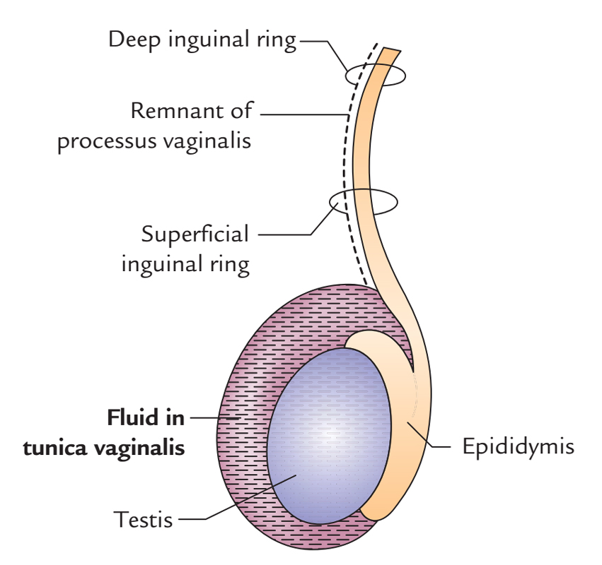 Easy Notes On Testis And Epididymislearn In Just 3 Minutes