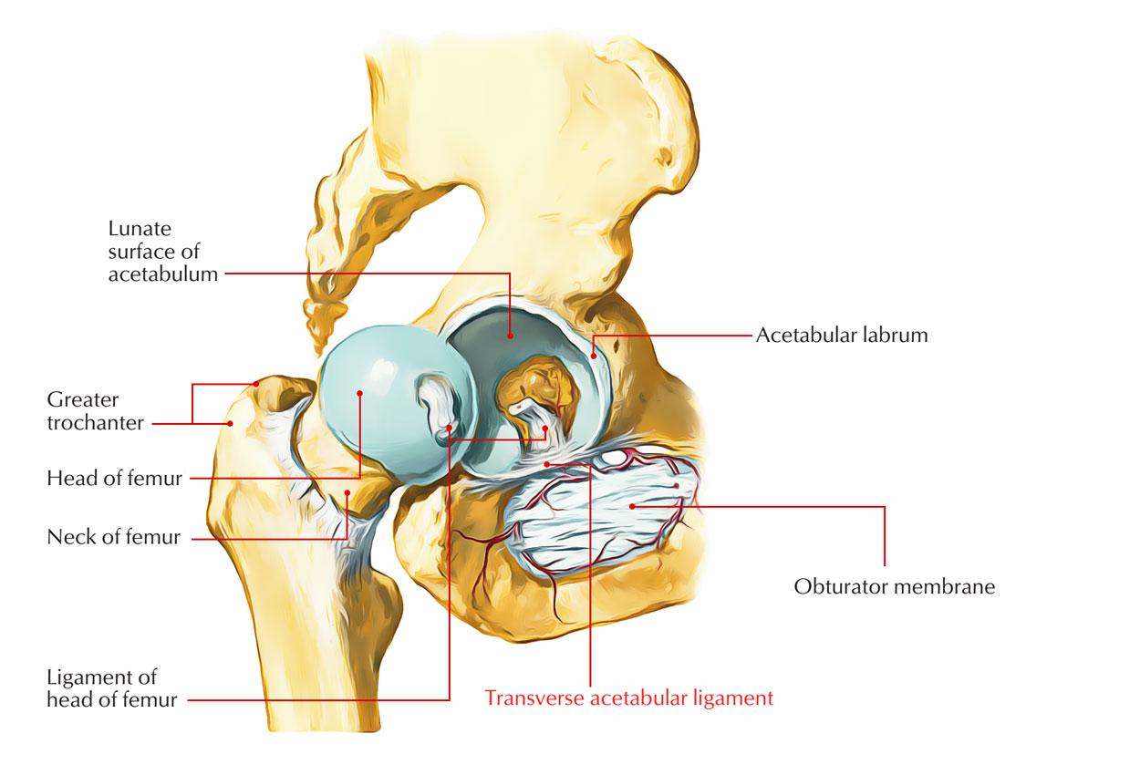 Hip labrum anatomy