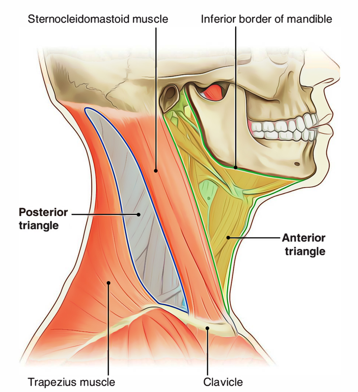 Neck: Triangles of the Neck