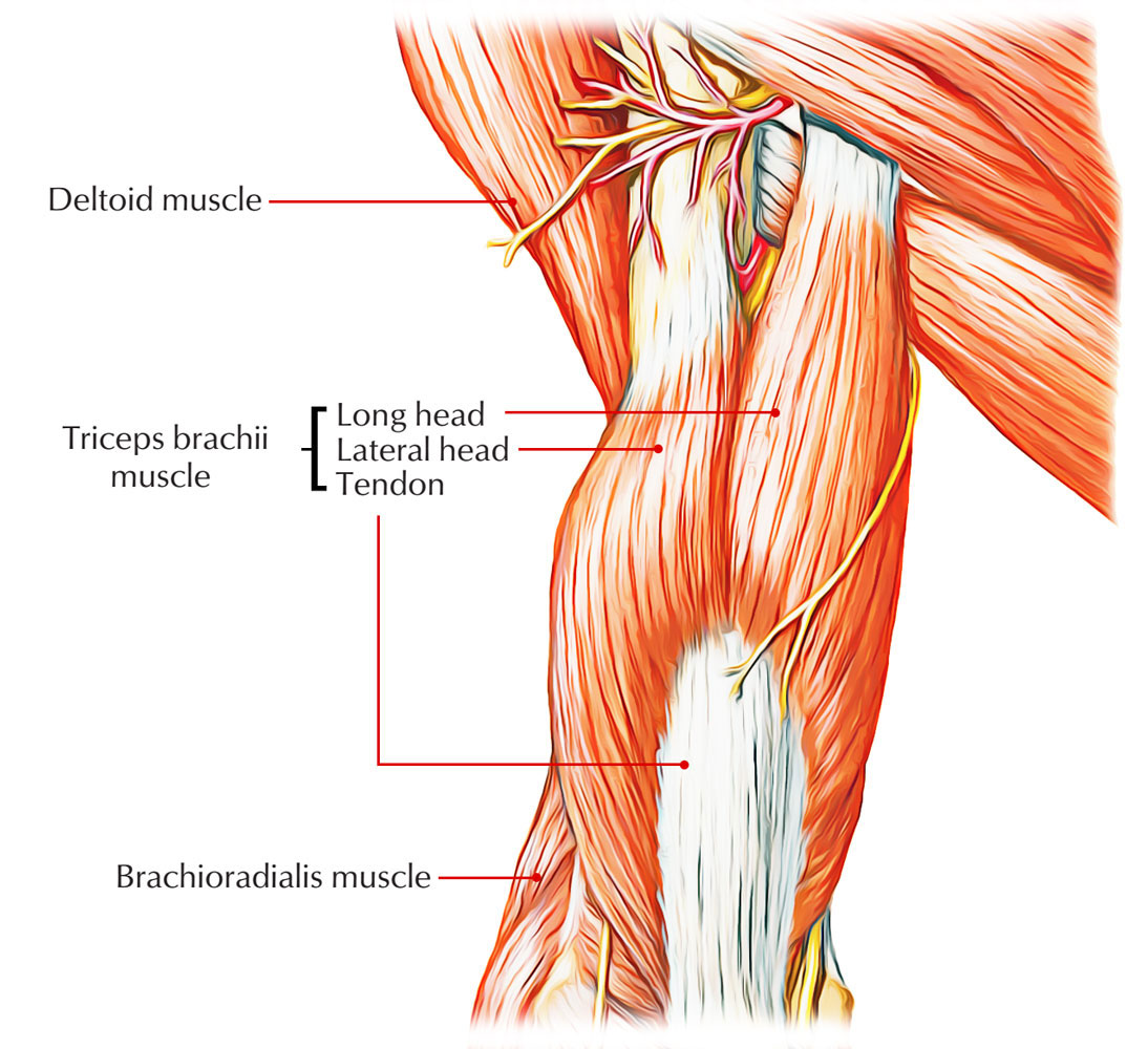 Easy Notes On Triceps Brachiilearn In Just 4 Minutes