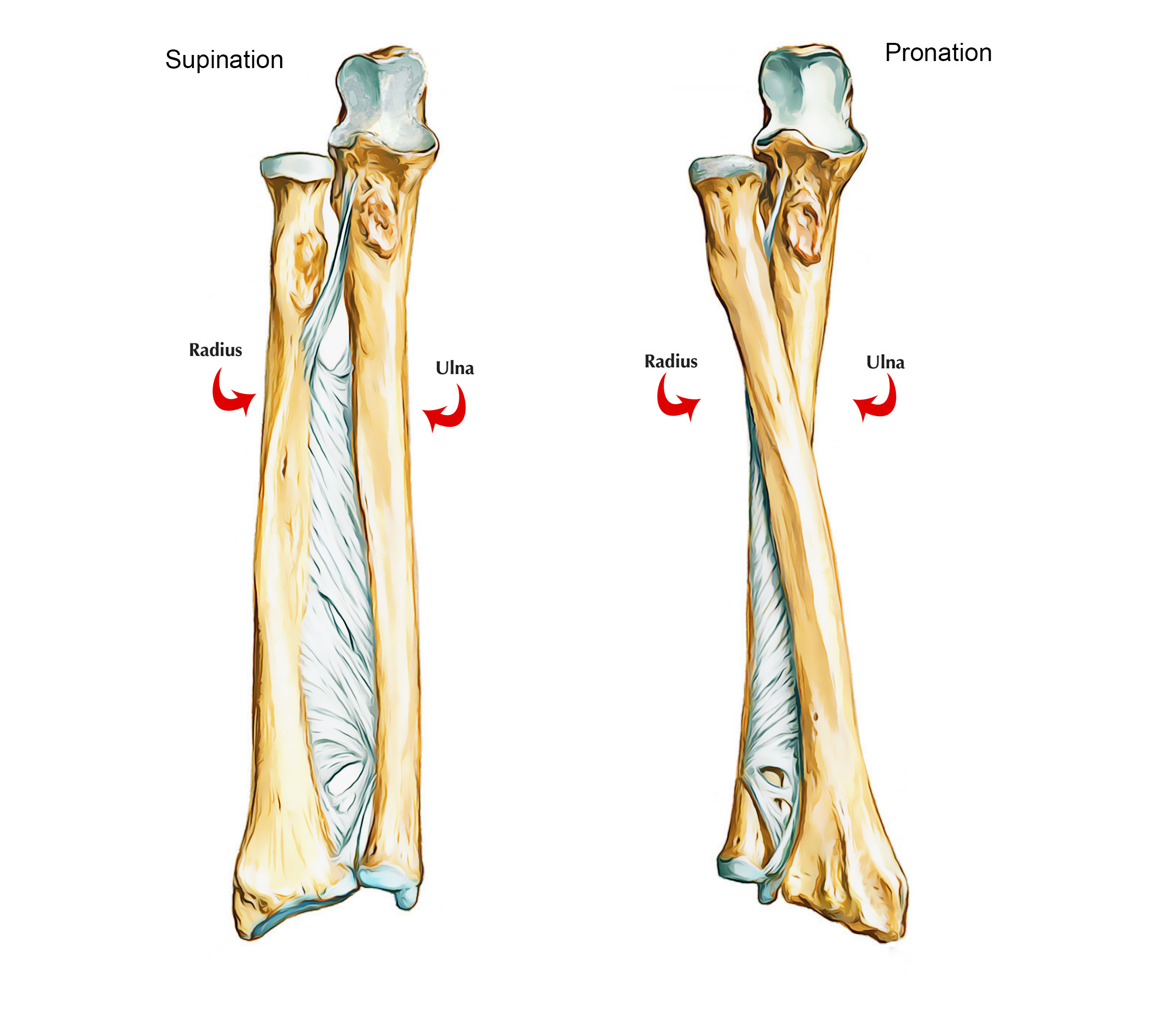 Easy Notes On 【Ulna】Learn in Just 4 Minutes! Ulna Bone