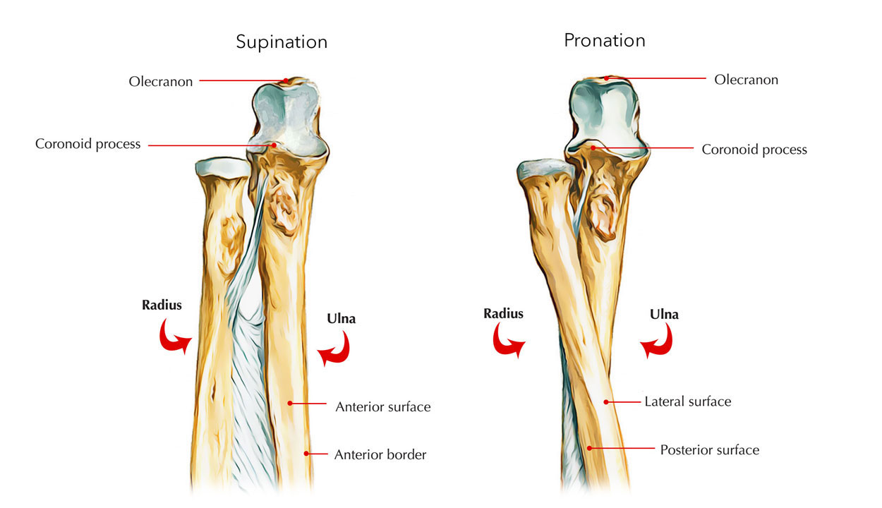 Ulna - Upper End