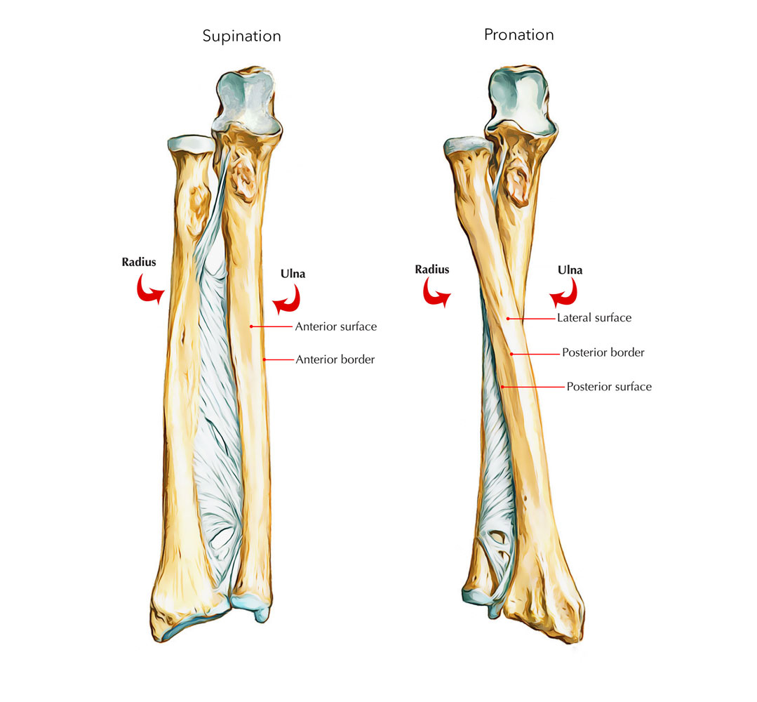 Shaft of Ulna