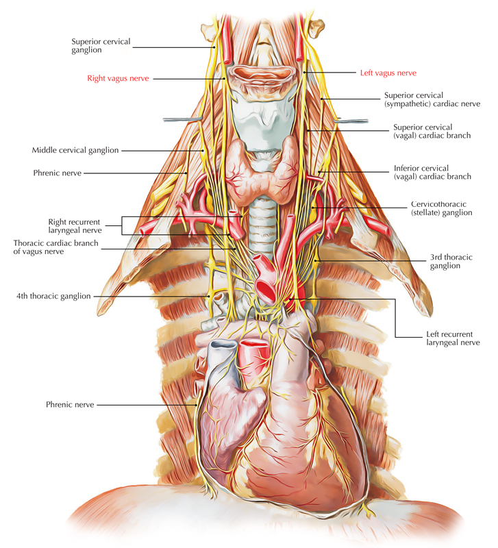 Easy Notes On 【Vagus Nerve】Learn in Just 4 Minutes!