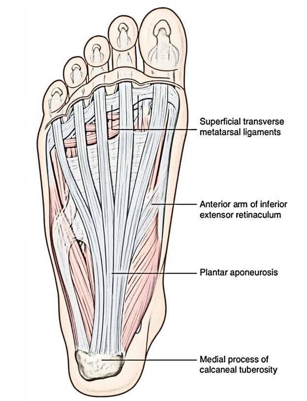 Easy Notes On 【Plantar Aponeurosis (Fascia)】Learn in Just 3 Minutes!