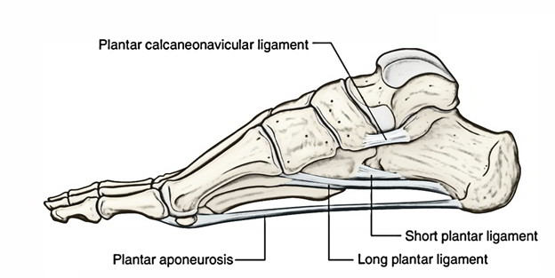 Easy Notes On Plantar Calcaneonavicular Ligament