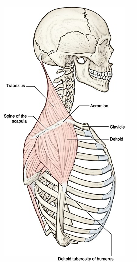 Easy Notes On 【Trapezius】Learn in Just 4 Minutes!