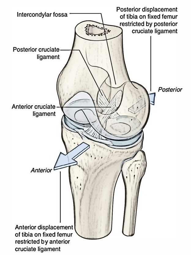 Easy Notes On 【Cruciate Ligaments】Learn in Just 3 Minutes!