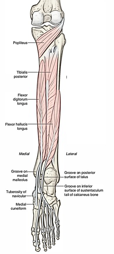 Easy Notes On Tibialis Posteriorlearn In Just 4 Minutes