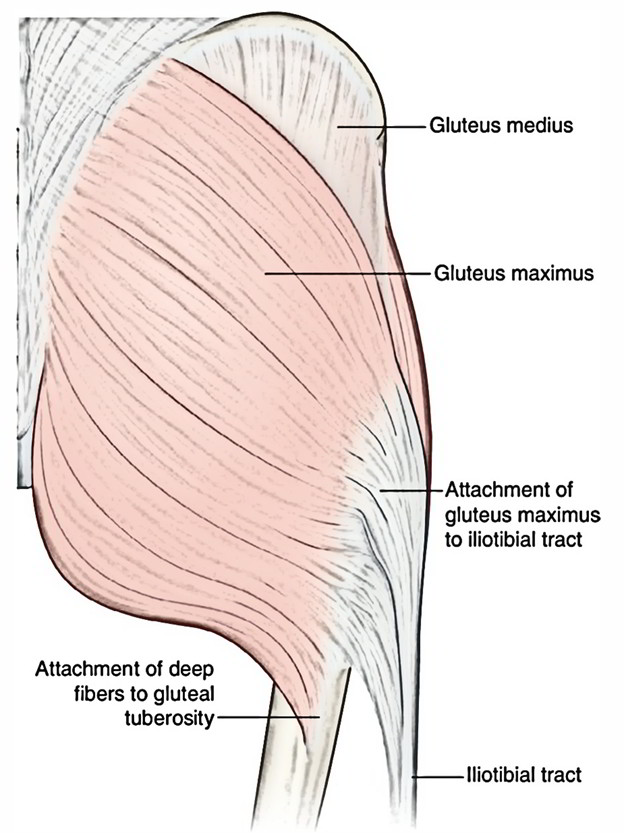 Easy Notes On 【Gluteus Maximus】Learn in Just 4 Minutes!