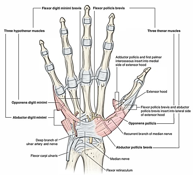 Easy Notes On Flexor Retinaculum Handlearn In Just 3 Minutes