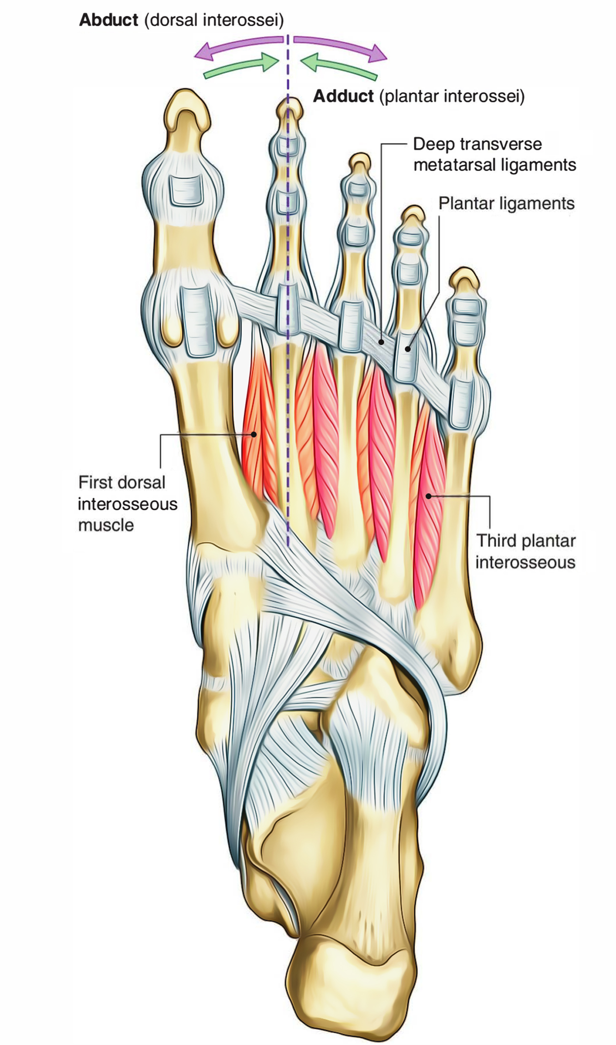 Dorsal Interossei (Foot)