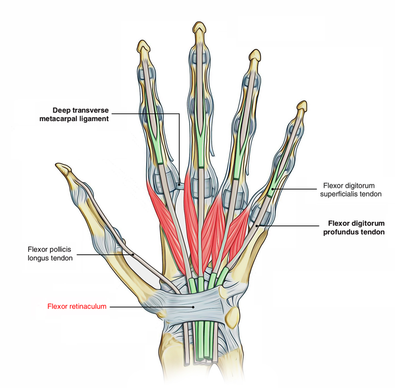 Easy Notes On  U3010flexor Retinaculum  Hand  U3011learn In Just 3