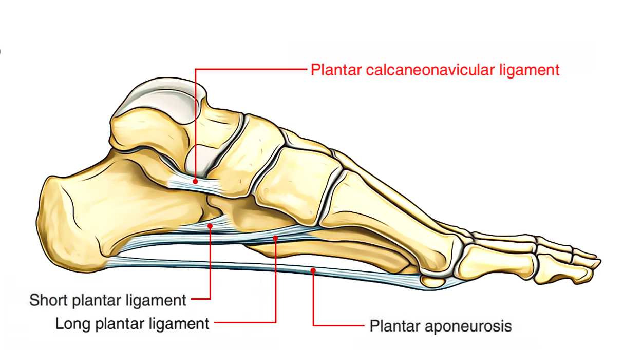 Easy Notes On 【Plantar Calcaneonavicular Ligament】
