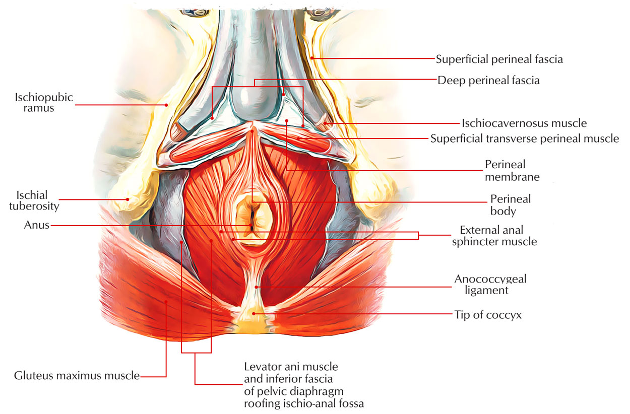 Anus pc muscle something is