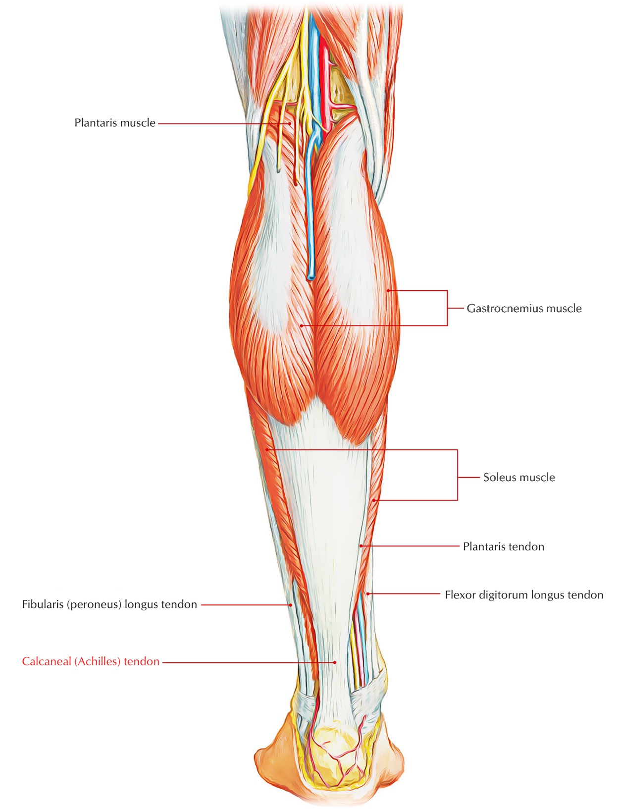 Easy Notes On 【Calcaneal (Achilles) Tendon】Learn in Just 3 Minutes!