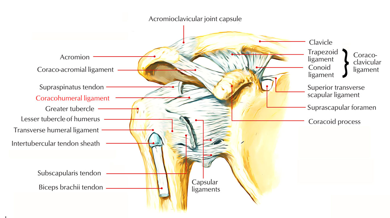 Easy Notes On 【Coracohumeral Ligament】Learn in Just 3 Minutes!