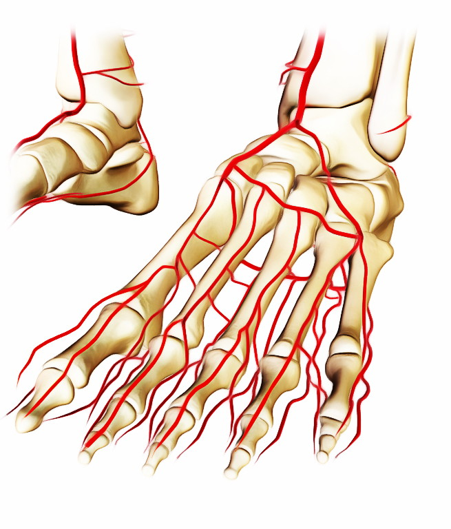 Easy Notes On 【Dorsalis Pedis Artery】Learn in Just 3 Minutes!