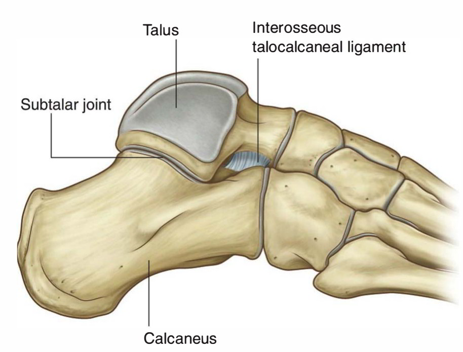 Easy Notes On 【Talocalcaneal Ligament】Learn in Just 3 Minutes!
