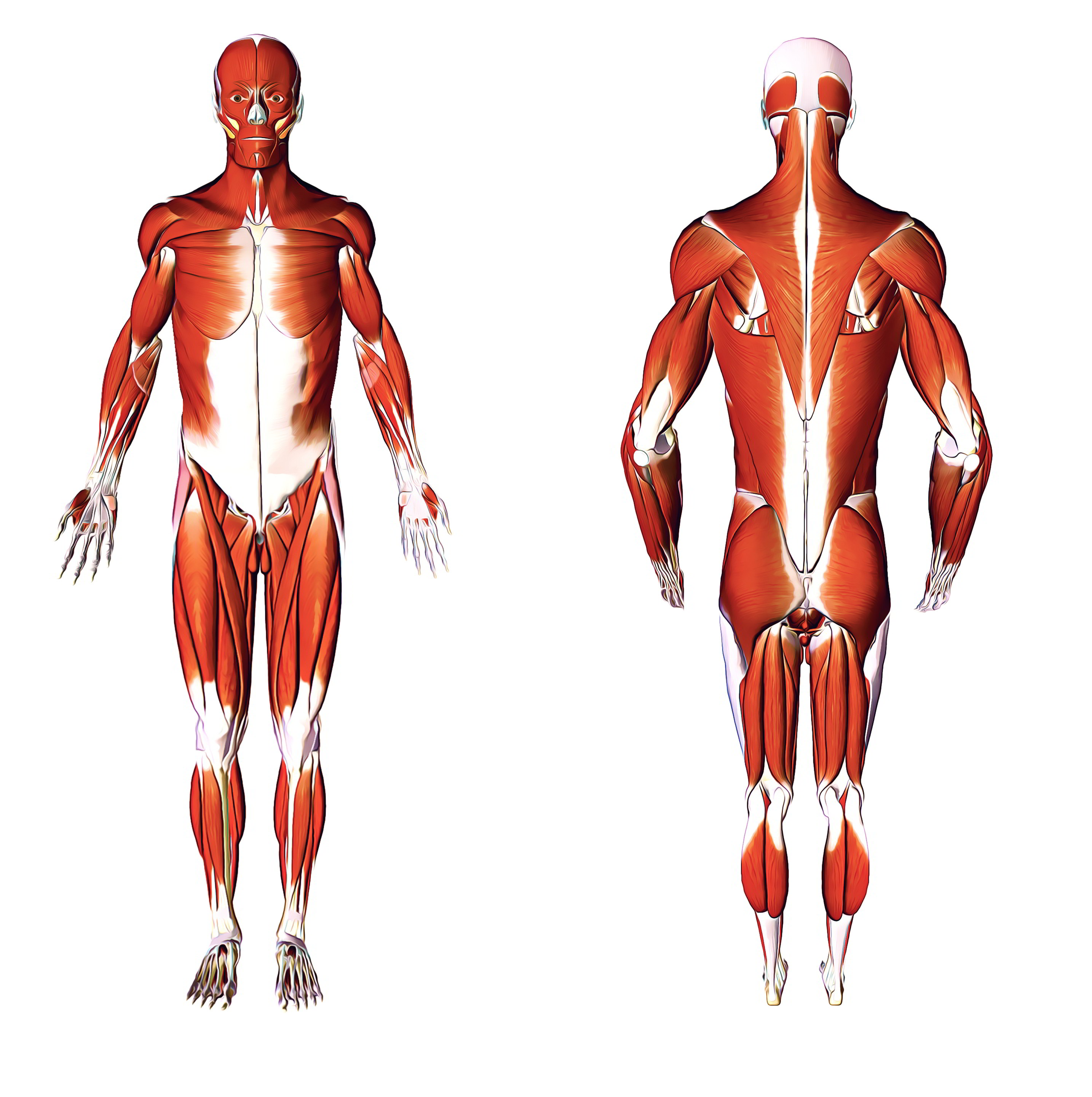 Human Anatomy – Learn Everything About the Human Body!