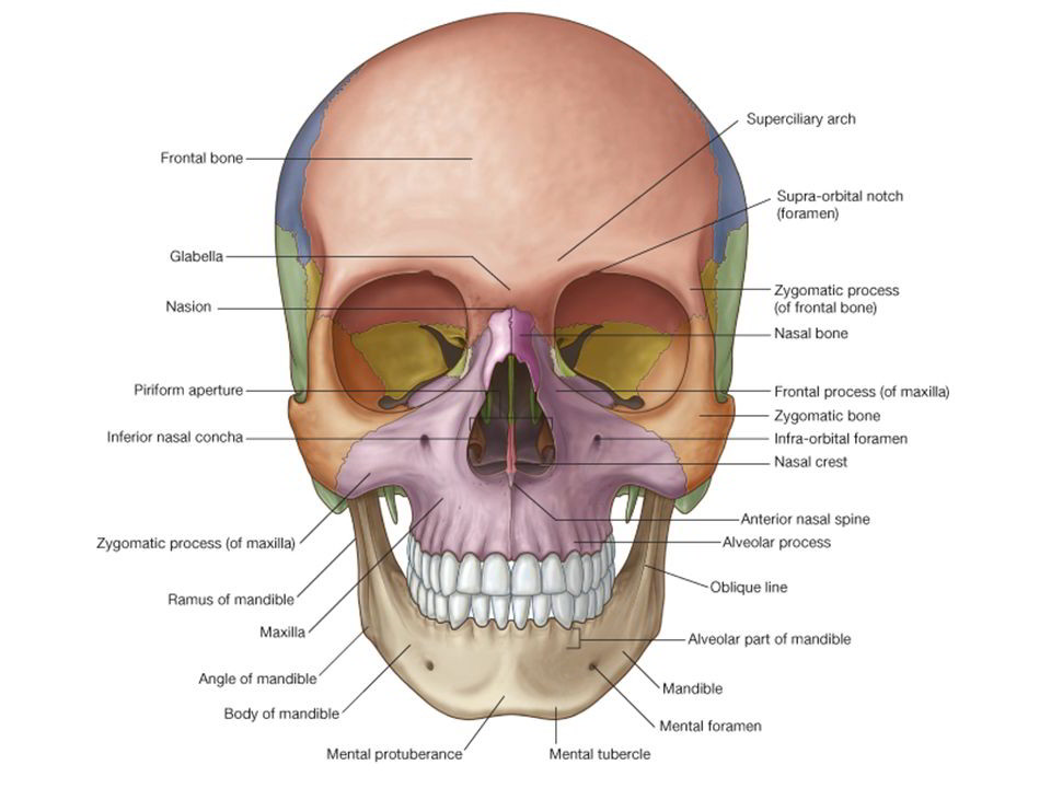 Zygomatic arch anatomy