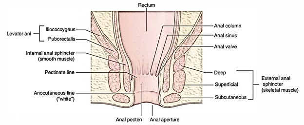 Easy Notes On 【Anal Sphincter (External)】Learn in Just 4 Minutes!