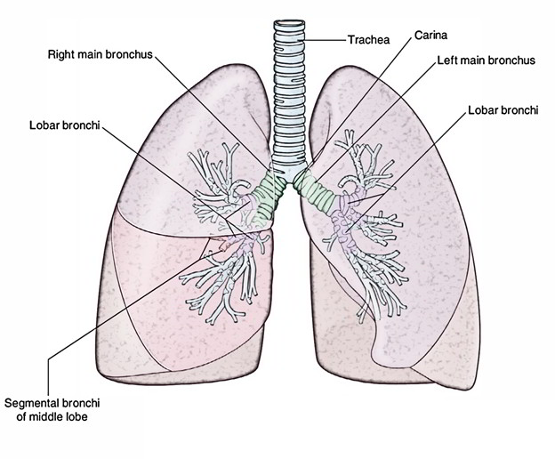 Lungs: Bronchial Tree