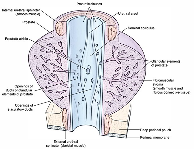 Verumontanu on Central Nervous System Diagram
