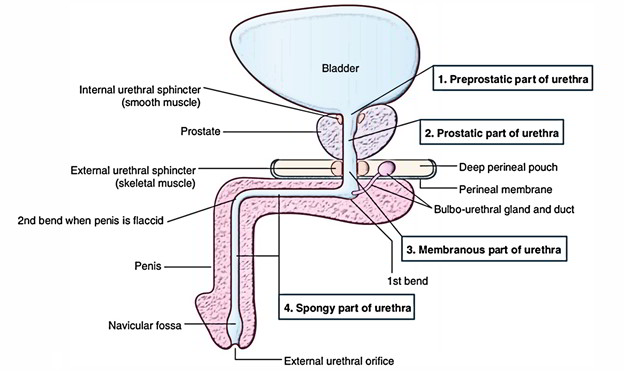Easy Notes On 【External Urethral Sphincter】Learn in Just 3 Minutes!