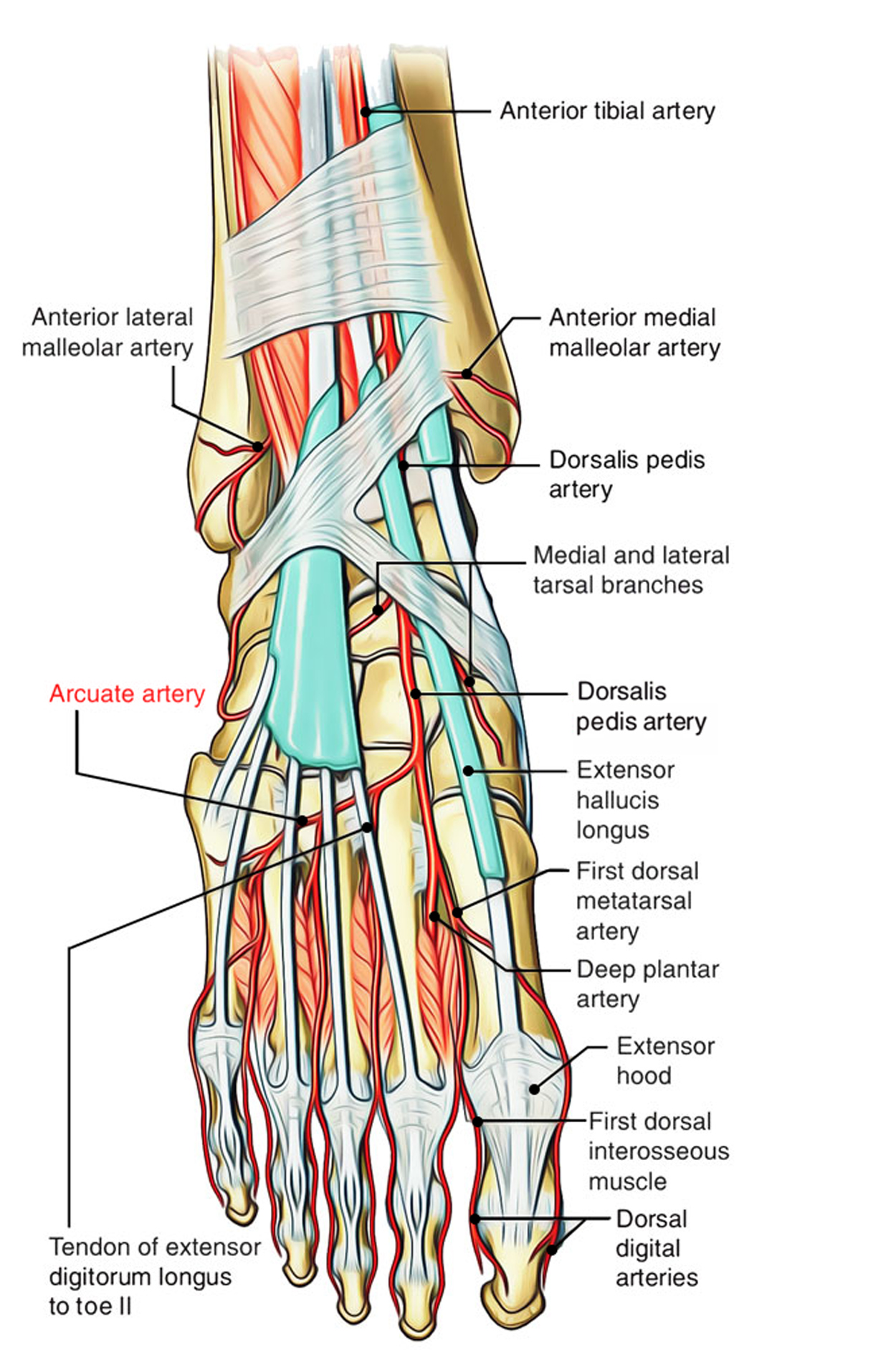 Easy Notes On 【Arcuate Arteries – Foot】Learn in Just 3 Minutes!