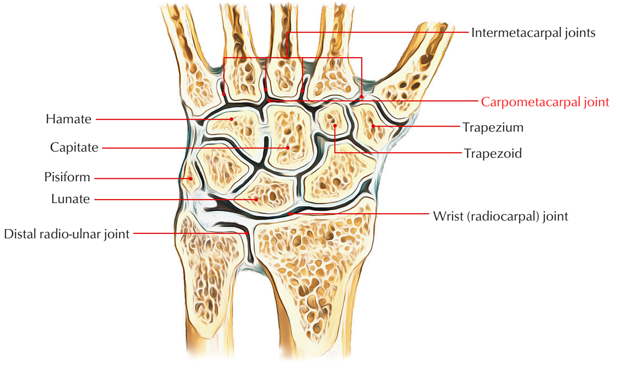 Carpometacarpal Joint