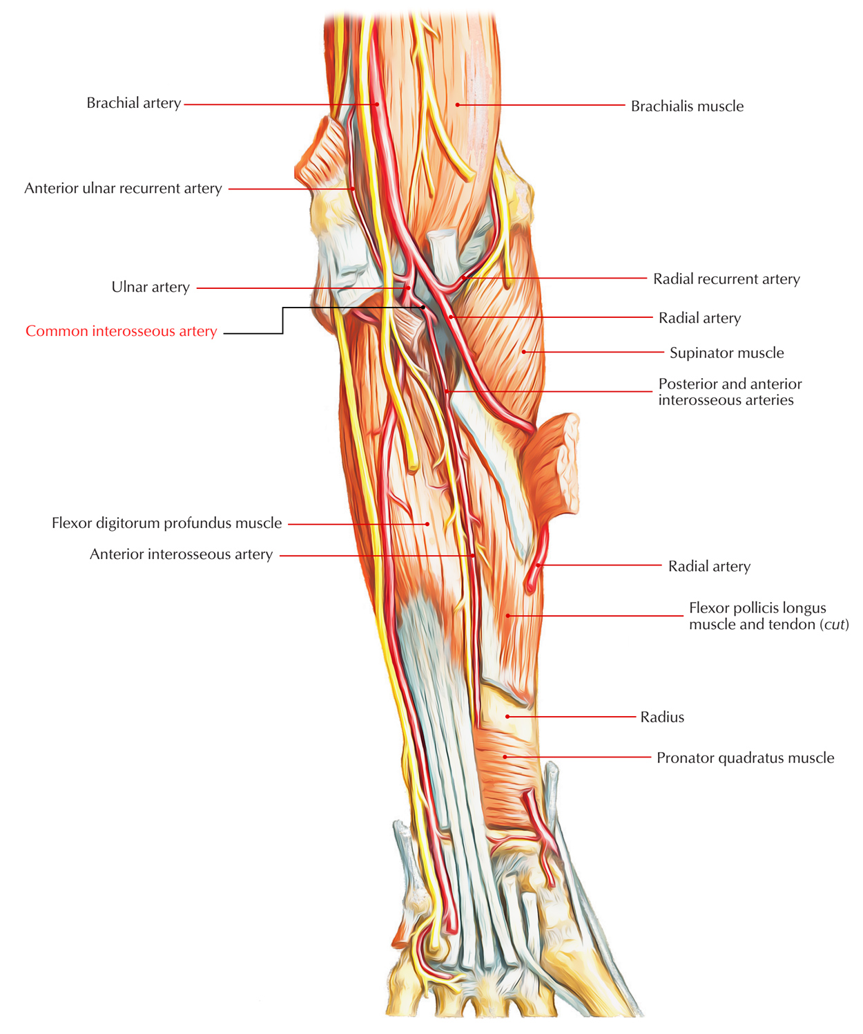 Easy Notes On 【Common Interosseous Artery】Learn in Just 3 Mins!