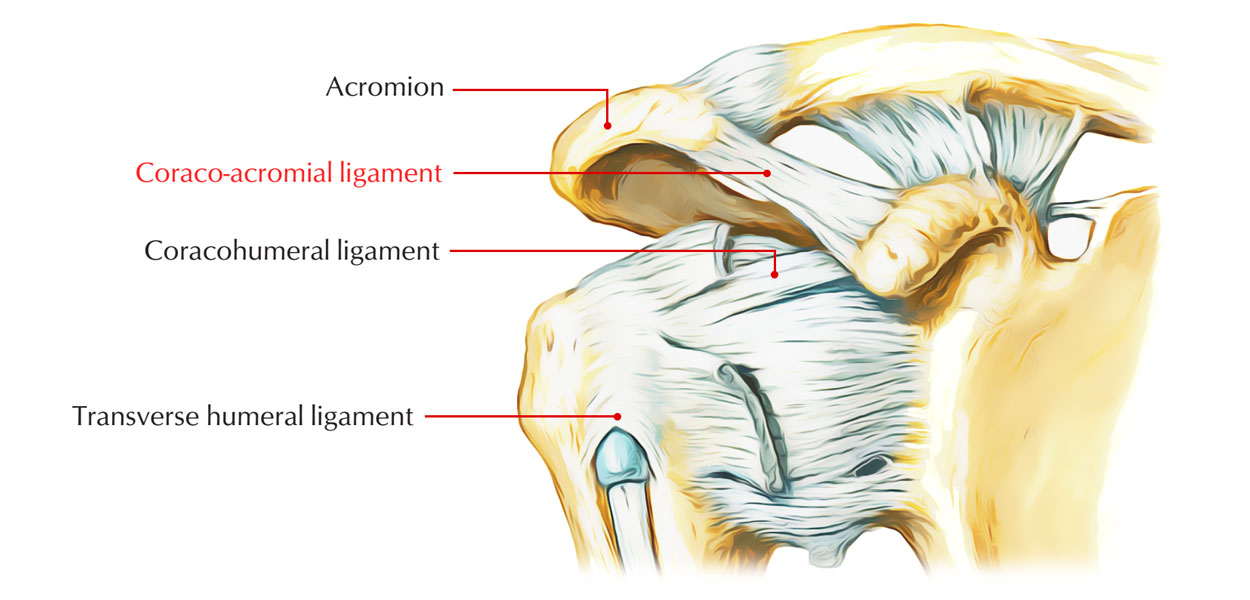 Coraco-acromial Ligament