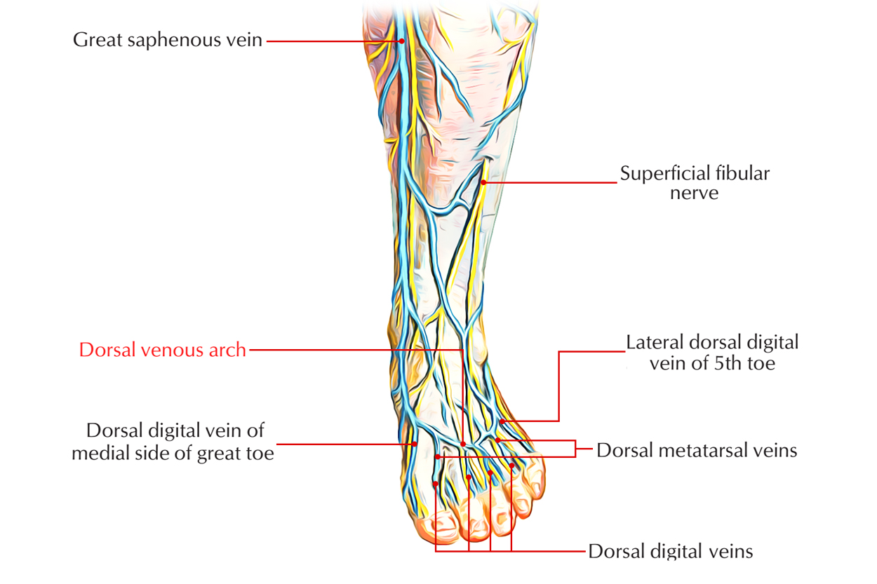 Dorsal Venous Arch: Foot