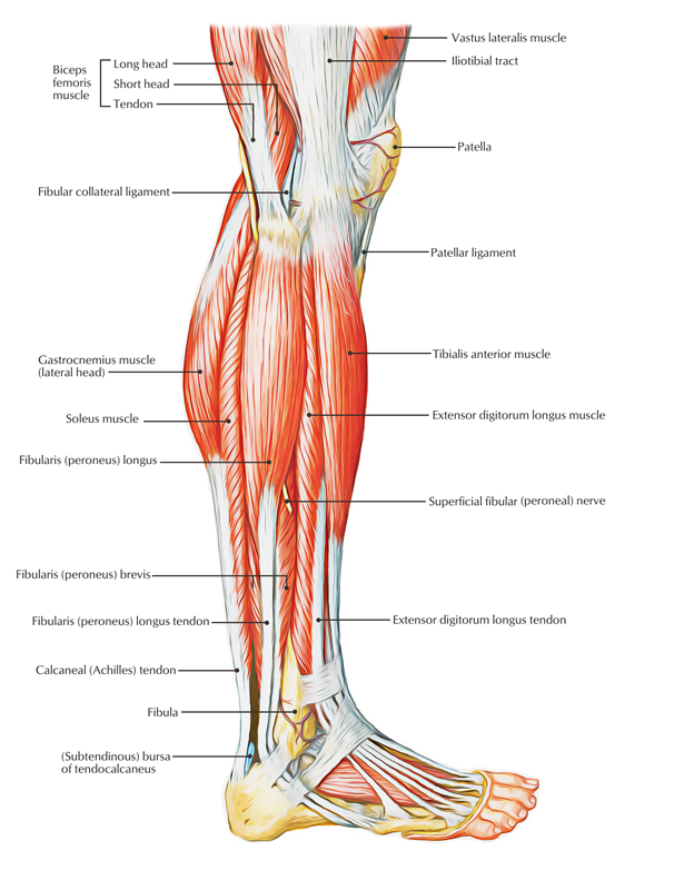 fibularis longus pain - 624×800
