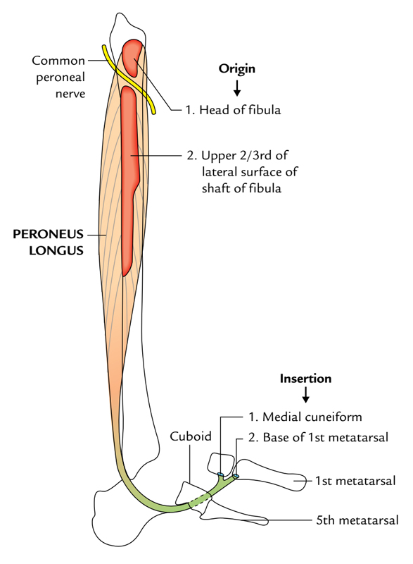 Fibularis (Peroneus) Longus: Origin and Insertion