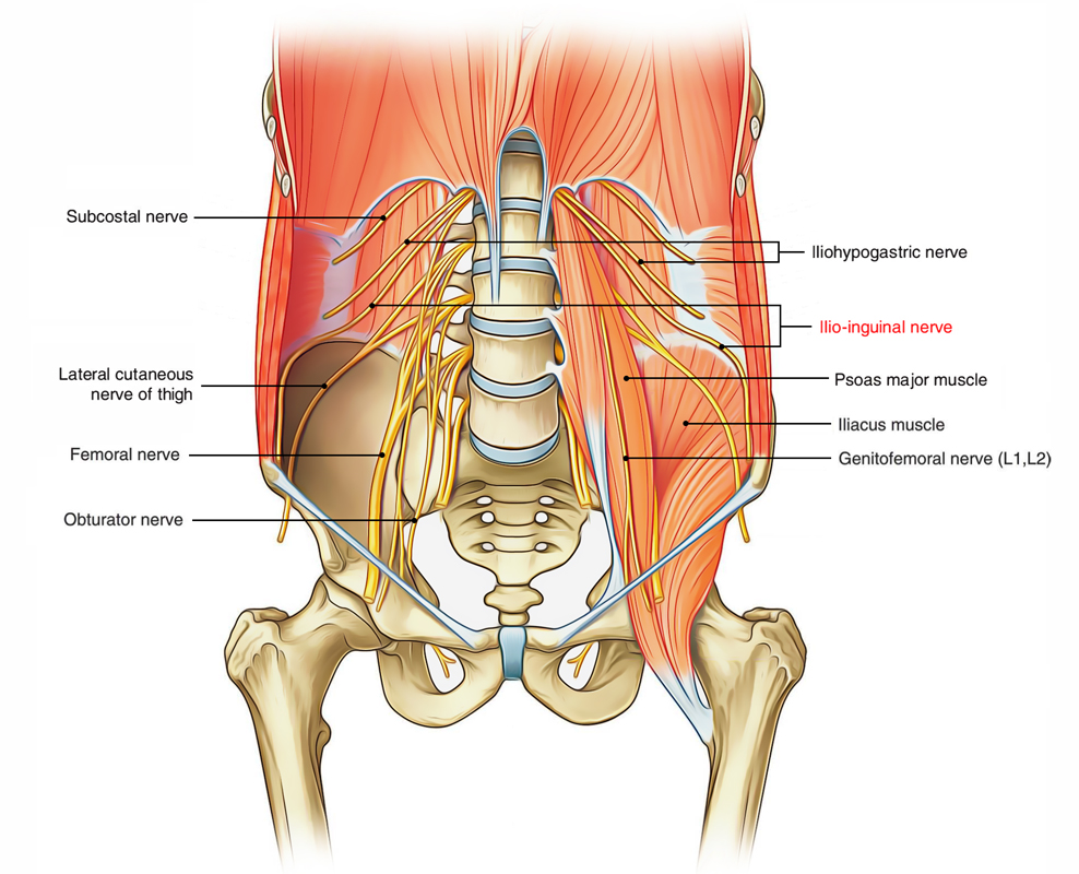 Easy Notes On Ilioinguinal Nervelearn In Just 4 Minutes