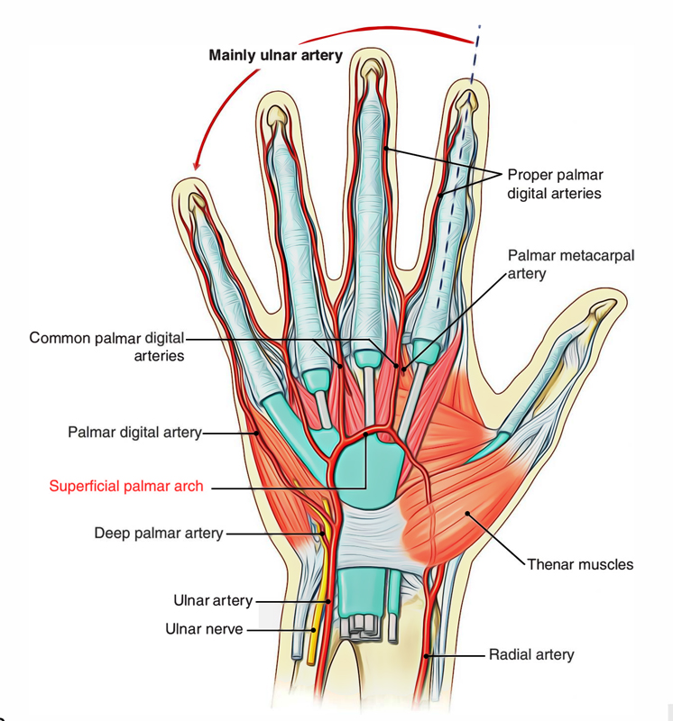 Easy Notes On 【Superficial Palmar Arterial Arch】Learn in ...