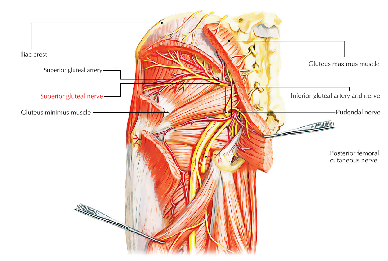 Easy Notes On 【Superior Gluteal Nerve】Learn in Just 3 Minutes!