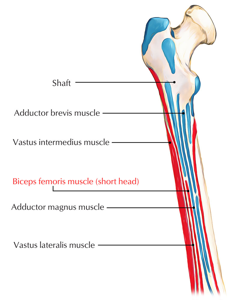 Origin of Biceps Femoris