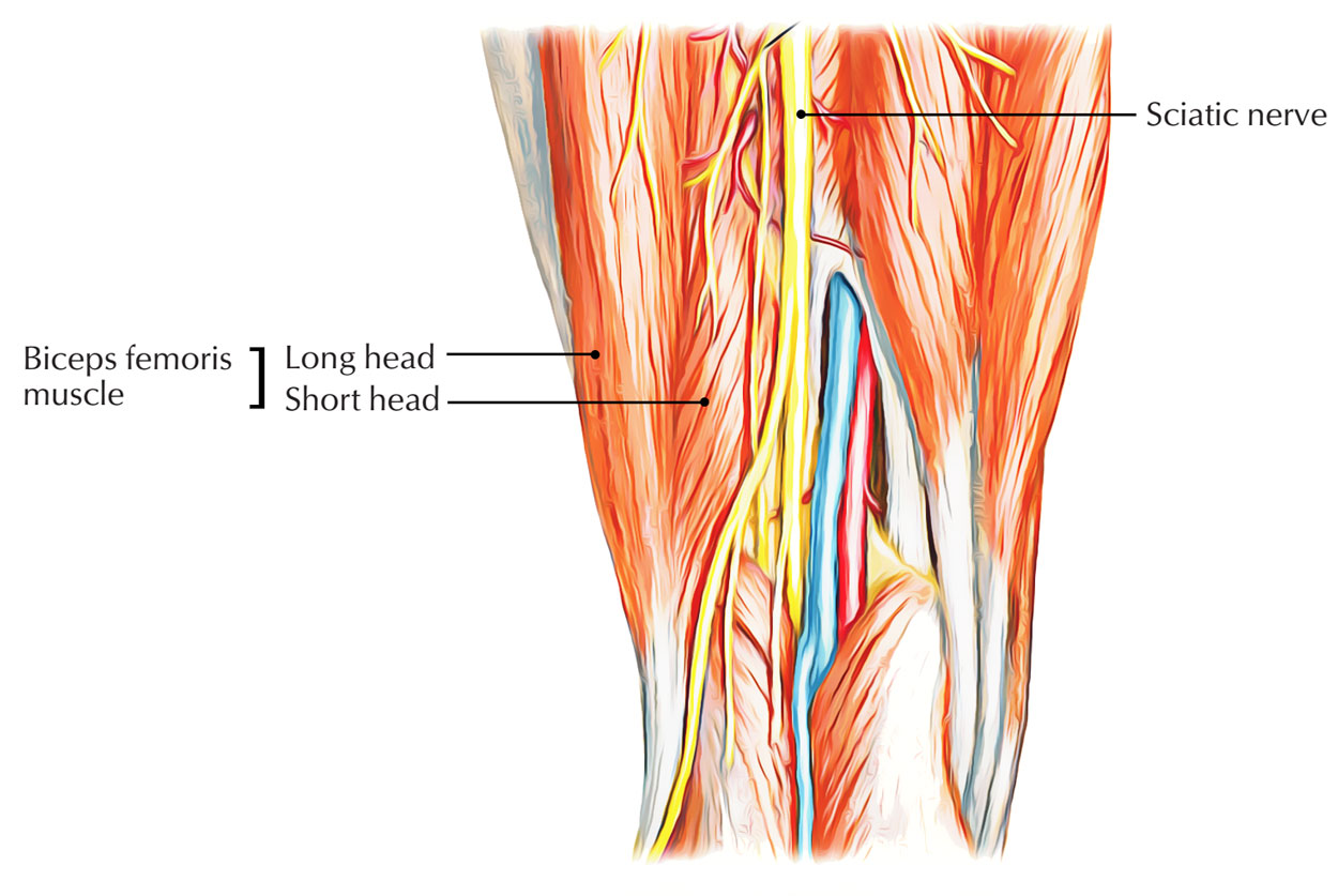 Innervation of Biceps Femoris