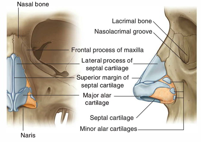 Human Skeletal System: Cartilage