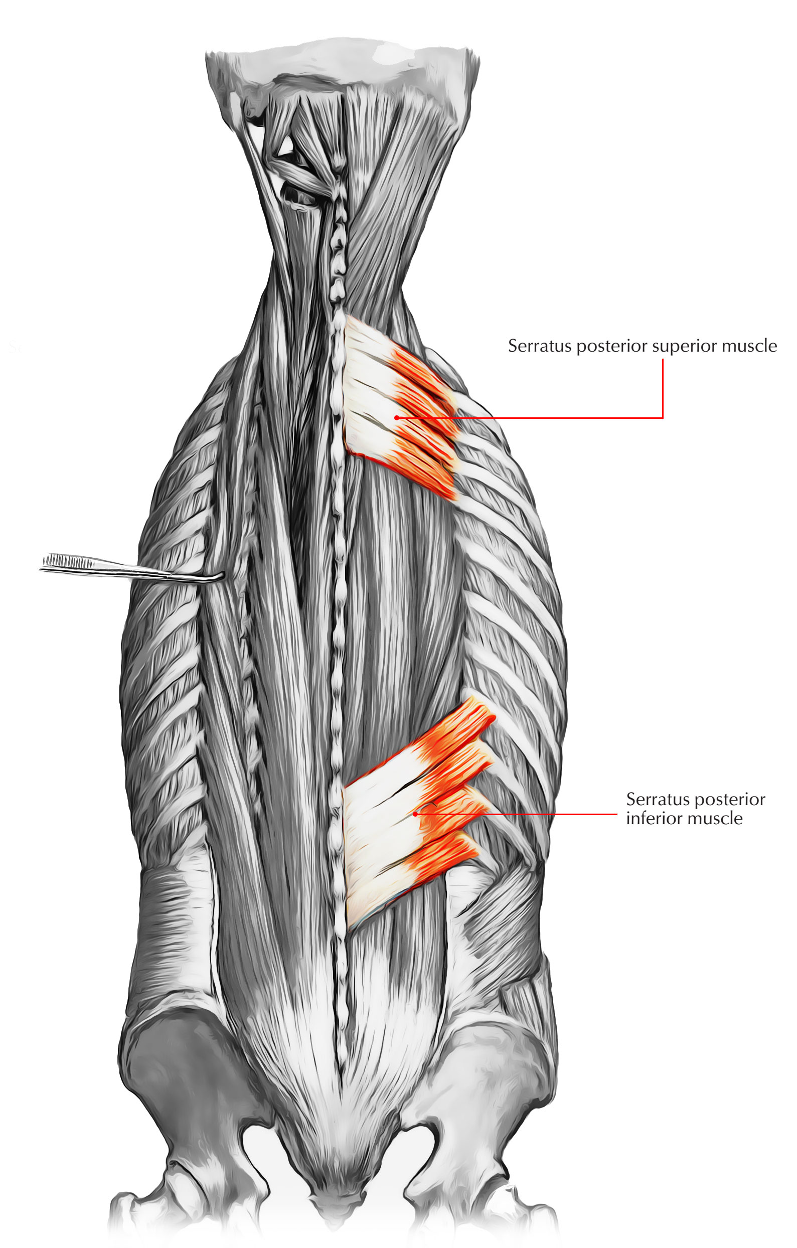 Intermediate Layer of Back Muscles