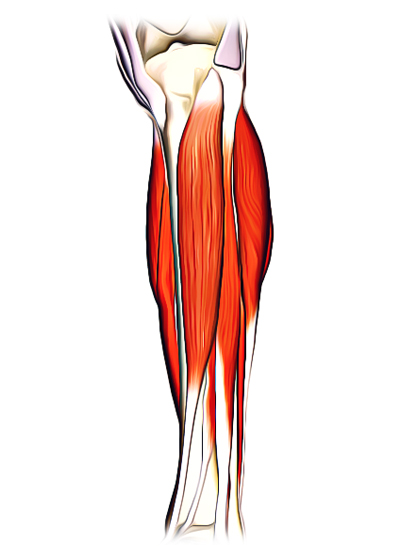 Anterior Compartment Of The Leg Muscles Arteries Nerves