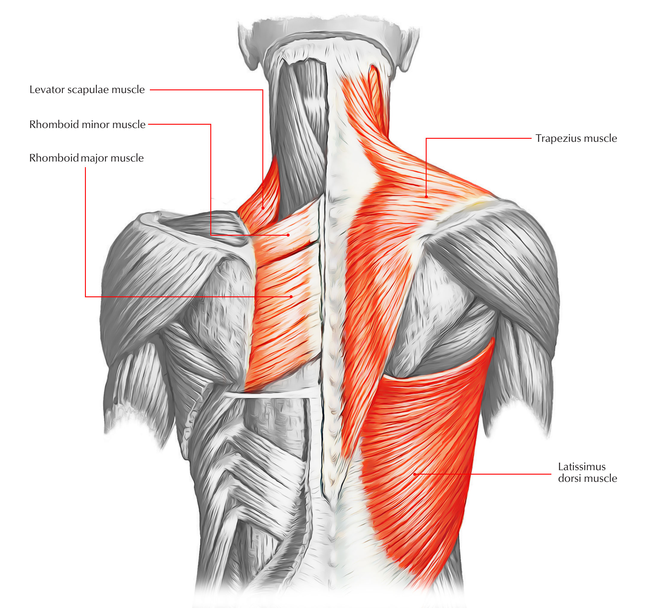 Easy notes on muscles of the backlearn in just 6 minutes superficial layer of back muscle ccuart Image collections