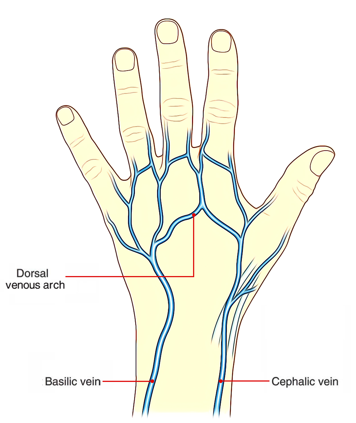 Easy Notes On 【Dorsal Venous Arch】Learn in Just 3 Minutes!