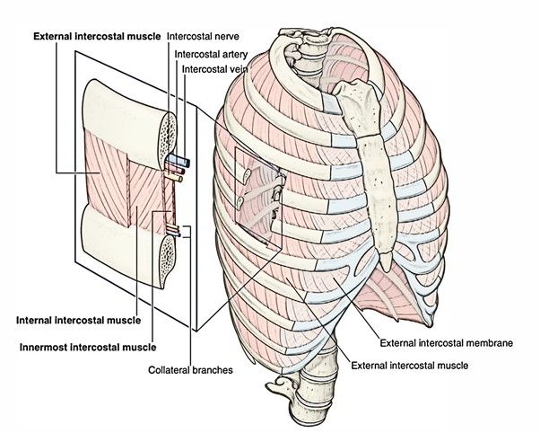 Internal Intercostal Muscles