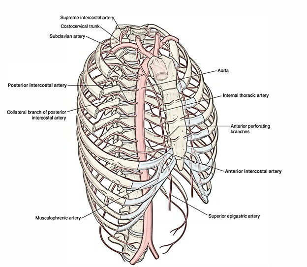Easy Notes On 【Posterior Intercostal Arteries】Learn in ...
